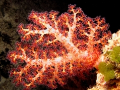 Dendronephthya sp